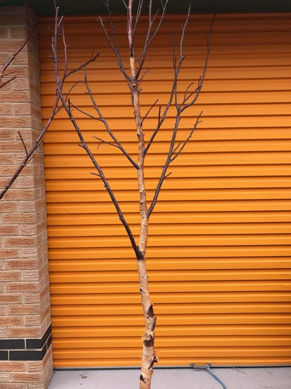 7 To 8ft Decorative Birch Branches/Tree Top