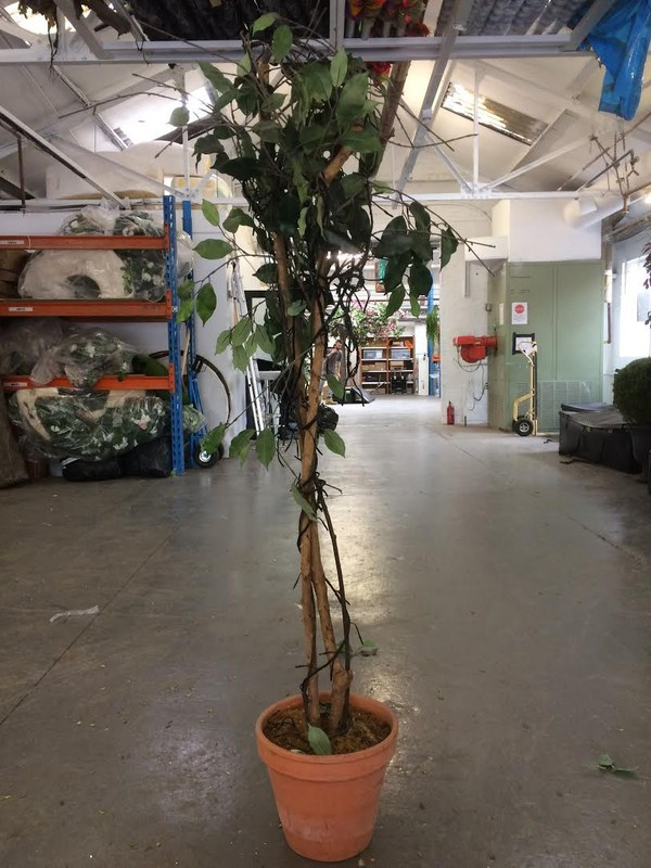 Silk Plant For Sale - Leicester 2