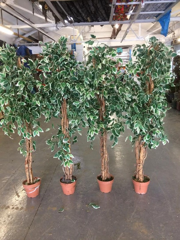 Silk Plant For Sale - Leicester 9
